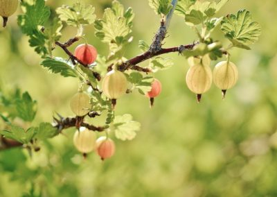 gooseberry-176450_960_720