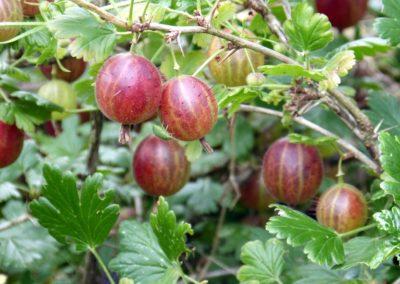 gooseberry-385445_960_720