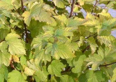 physocarpus-978997_960_720