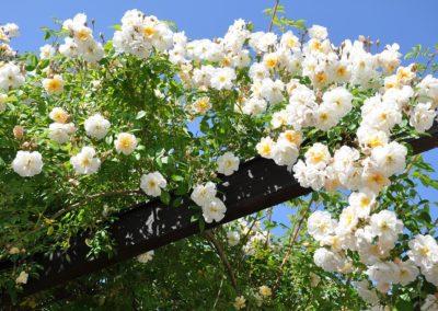 rose-2116441_960_720