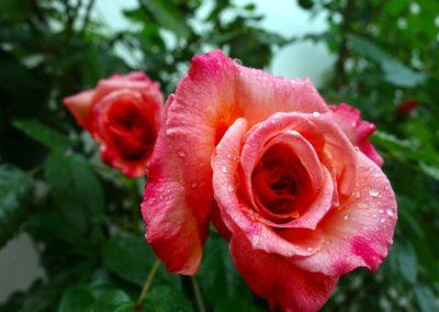 rose-3408267_960_720