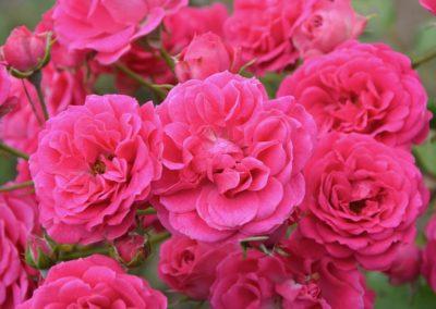 rosebush-2652740_960_720