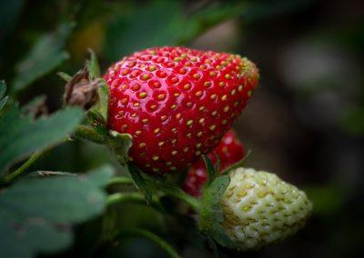 strawberry-3503267_960_720